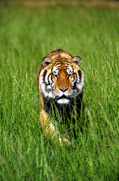 Vertebrate Photograph - Bengal Tiger, Panthera Tigris Tigris by Adam Jones
