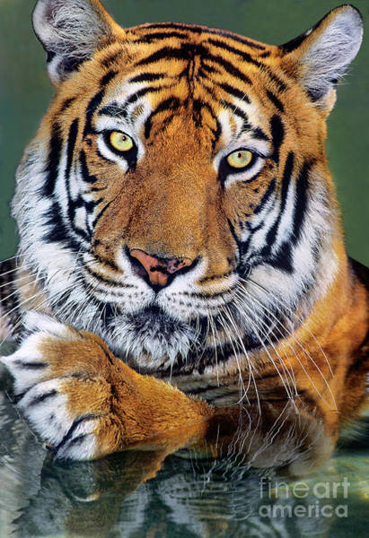 Photograph - Bengal Tiger Portrait Endangered Species Wildlife Rescue by Dave Welling