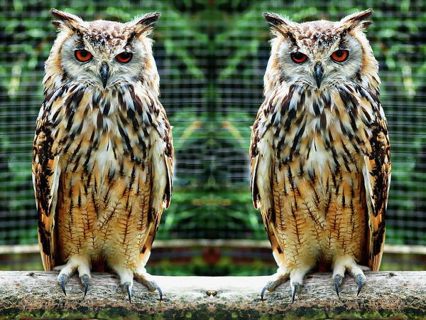 Photograph - Bengalese Eagle Owls by Anthony Dezenzio