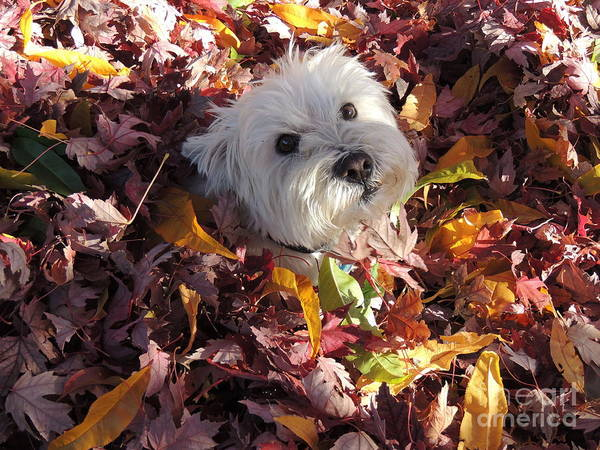 Wall Art - Photograph - Beni And The Leaves Of Autumn West Highland White Terrier Westie by Art Sandi