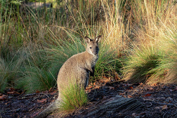 Photograph - Bennetts Wallaby by Sean Davey