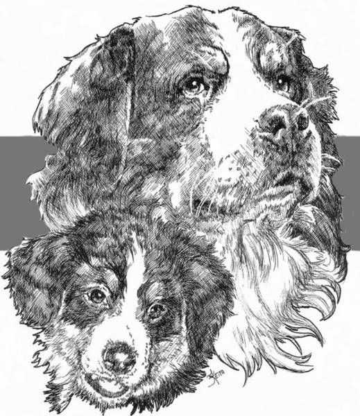 Drawing - Bernese Mountain Dog And Pup by Barbara Keith