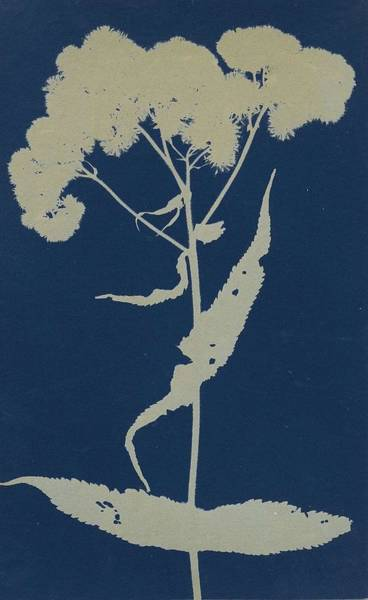 Wall Art - Painting - Bertha Clausen Jaques  1863   1941  Boneset  Vers 1905 10 Cyanotype  Mounted To Original Card  by Celestial Images