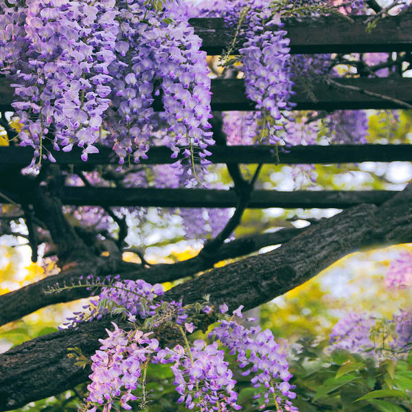 Wall Art - Photograph - Wisteria Draped Trellis  by Jessica Jenney