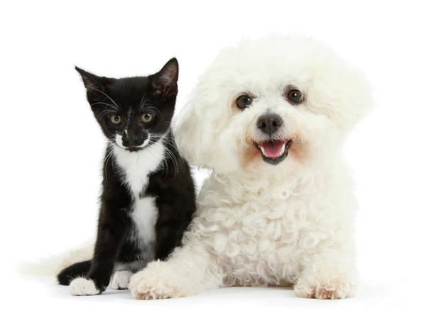 Photograph - Bichon And Tuxedo Kitten Friend by Warren Photographic