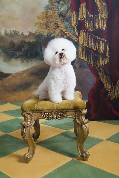 Bichon Wall Art - Photograph - Bichon Fise Sitting On Stool, Looking Up by Rosanne Olson