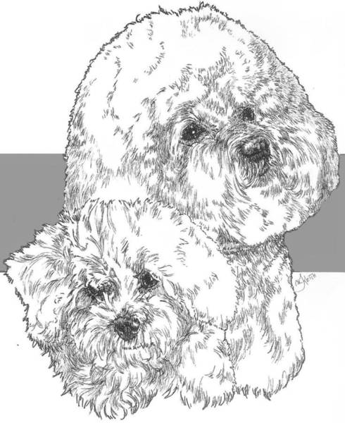 Drawing - Bichon Frise And Pup by Barbara Keith