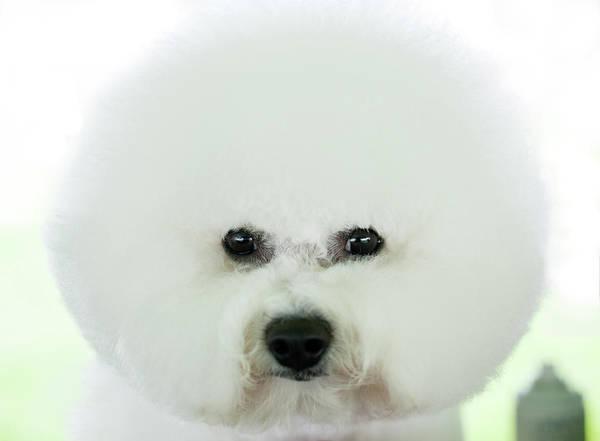 Lap Dog Photograph - Bichon Frise Show Dog by Lynn Koenig