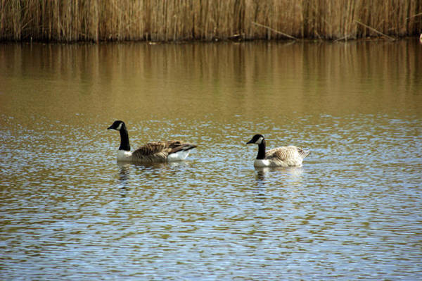 Photograph -   Bidston.  Bidston Moss Wildlife Reserve. Two Geese. by Lachlan Main
