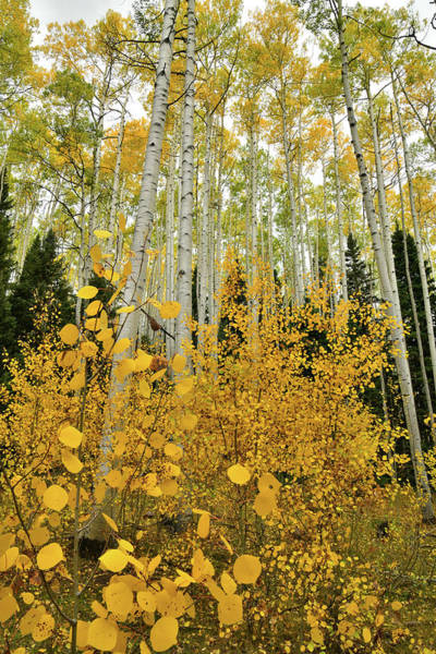 Photograph - Big And Little Aspens In The San Juan Mountains by Ray Mathis