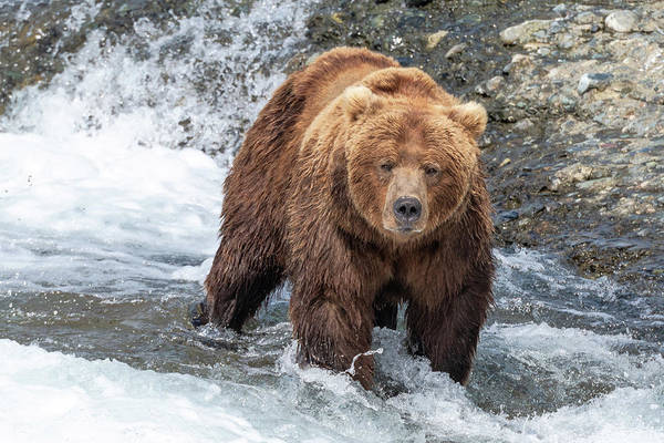 Grizzly Bears Photograph - Big Boar by Ian Stotesbury