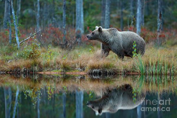 Wall Art - Photograph - Big Brown Bear Walking Around Lake In by Ondrej Prosicky