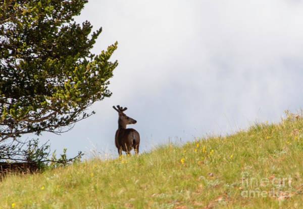 Photograph - Big Buck Mule Deer On The Ridge by Steve Krull