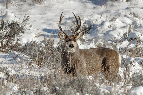 Photograph - Big Buck by Ronnie and Frances Howard