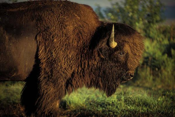 Photograph - Big Bull by Jeff Phillippi