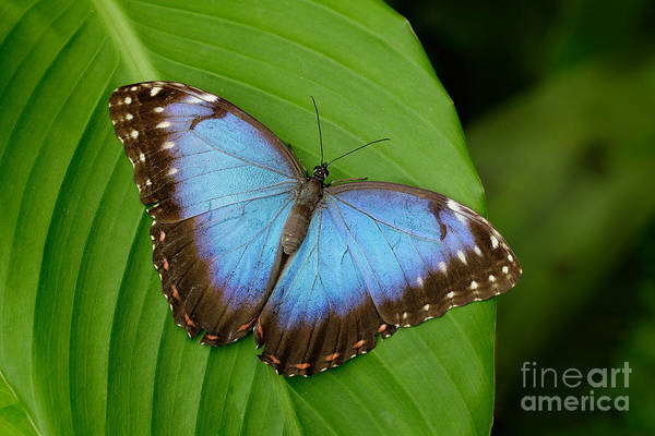 Vibrant Color Wall Art - Photograph - Big Butterfly Blue Morpho, Morpho by Ondrej Prosicky