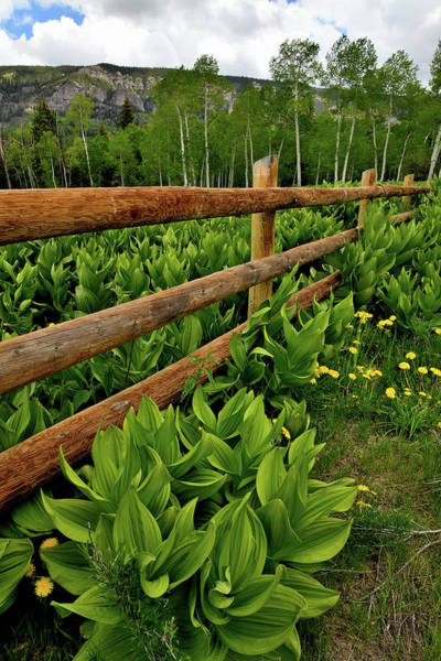 Photograph - Big Cimarron Fence Lined With Skunk Cabbage by Ray Mathis