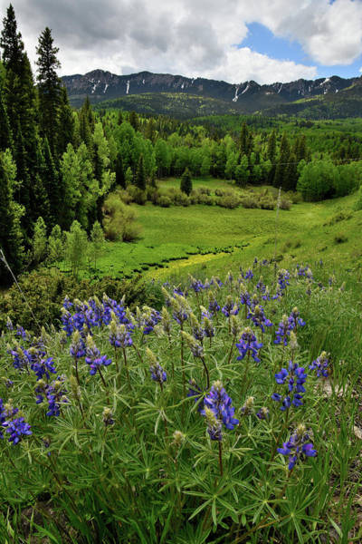 Photograph - Big Cimarron Lupine by Ray Mathis