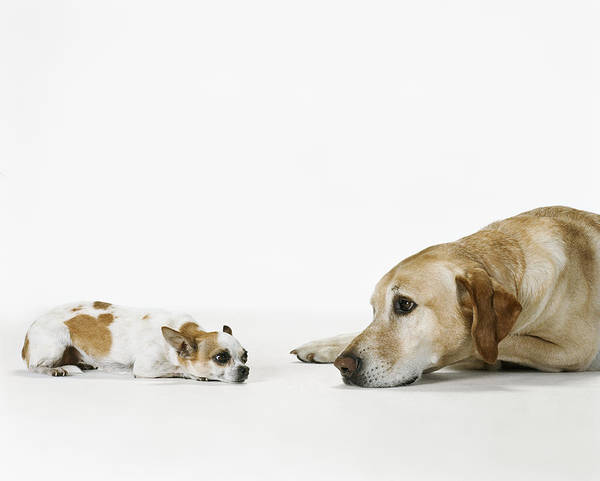 Lap Dog Photograph - Big Dog Facing Small Dog, Side View by Sharon Montrose