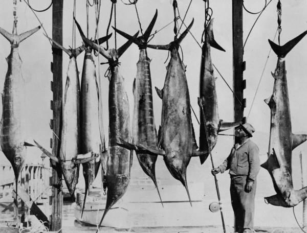 Sport Fish Photograph - Big Game Fishing by Fox Photos