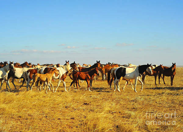 Wild Grass Photograph - Big Herd Of Horses In Crimean Prairie by Joyfull