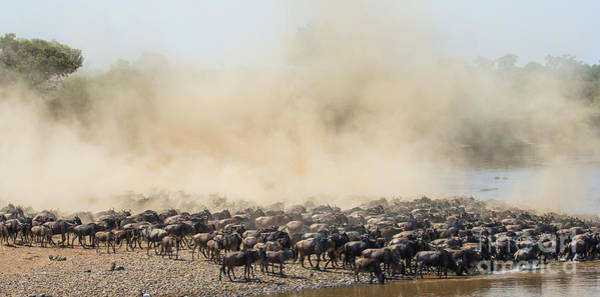 Zoology Wall Art - Photograph - Big Herd Of Wildebeest Is About Mara by Gudkov Andrey