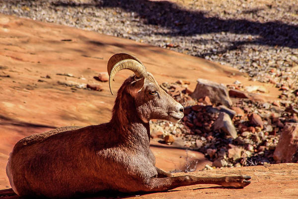 Photograph - Big Horn Sheep 1, Zion by Dawn Richards