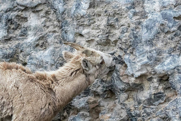 Photograph - Big Horn Sheep Ewe Licking Minerals From A Rock Wall by Belinda Greb