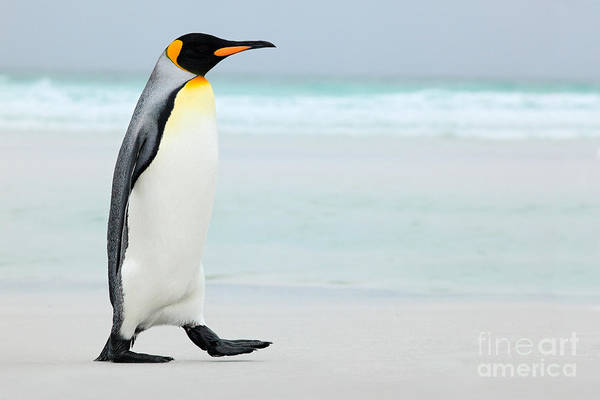 Wall Art - Photograph - Big King Penguin Going In To The Blue by Ondrej Prosicky