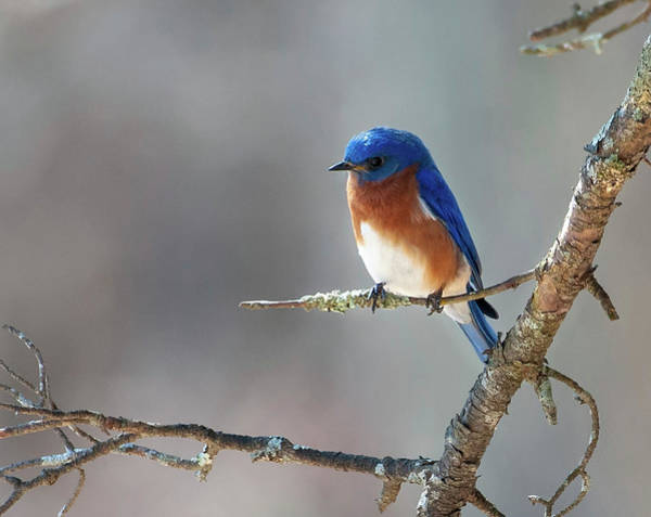 Photograph - Big Meadows Early Spring Bluebird by Lara Ellis