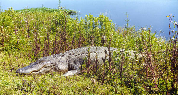 Photograph - Big Old Alligator by Marilyn Hunt