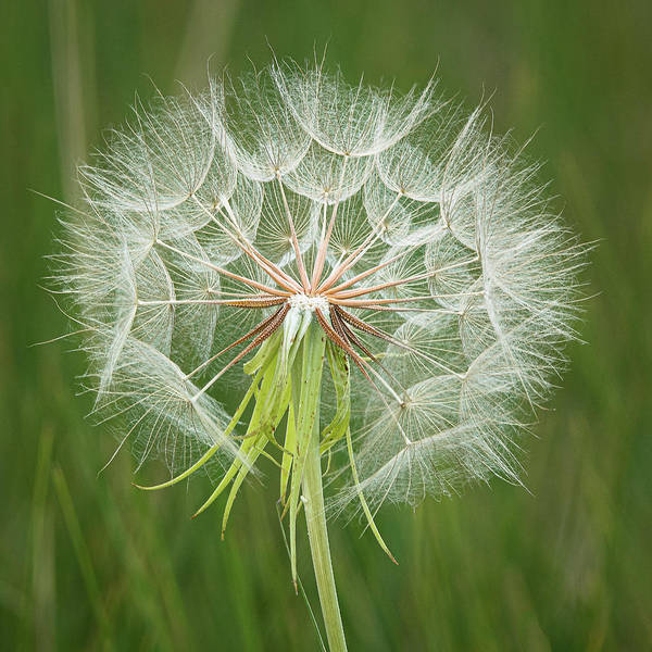 Photograph - Big 'ole Dandelion by Gary Lengyel