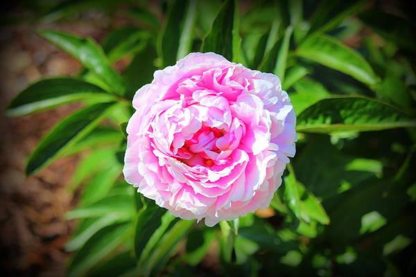 Photograph - Big Pink Bloom by Cynthia Guinn