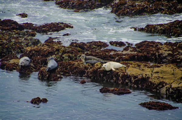 Photograph - Big Sur - White Sea Lion by Bill Cannon