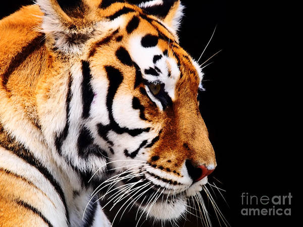 Wall Art - Photograph - Big Tiger On A Black Background by Anp