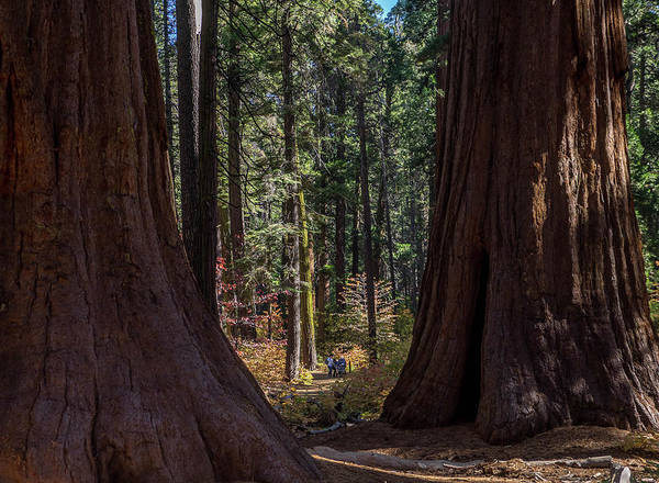 Wall Art - Photograph - Big Trees, Little People by Martin Gollery