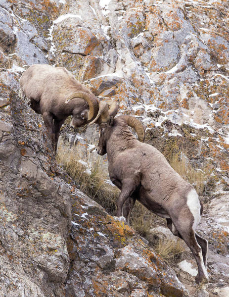 Photograph - Bighorn Brawl by Michael Chatt