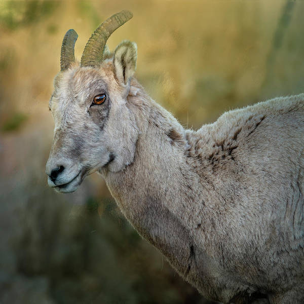 Wall Art - Photograph - Bighorn Ewe by Joan Carroll