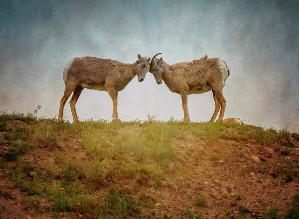 Wall Art - Photograph - Bighorn Ewes by Joan Carroll