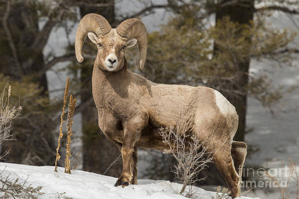 Wall Art - Photograph - Bighorn Ram Feeding By Quake Lake by Michelle Holihan
