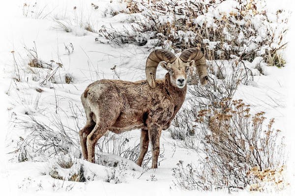 Photograph - Bighorn Ram In Winter by Wes and Dotty Weber