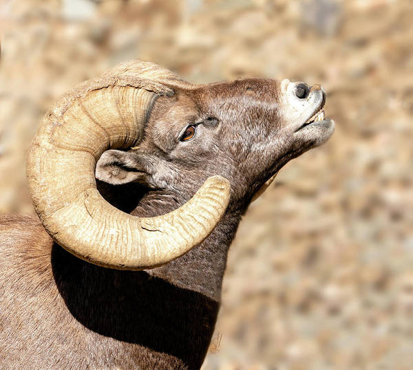 Photograph - Bighorn Ram Portrait by Judi Dressler