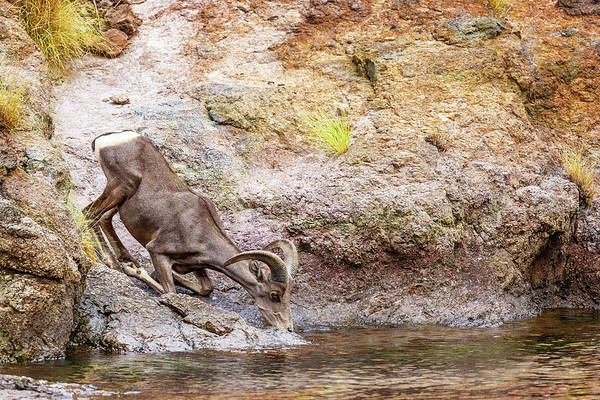 Wall Art - Photograph - Bighorn Sheep Drinking From Lake In Summer by Susan Schmitz