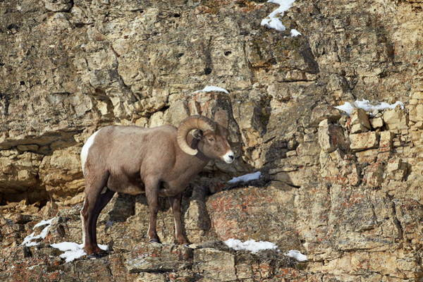 James Brown Photograph - Bighorn Sheep Ovis Canadensis In The by James Hager / Robertharding