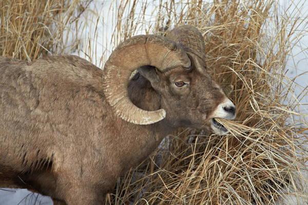 James Brown Photograph - Bighorn Sheep Ovis Canadensis Ram by James Hager / Robertharding