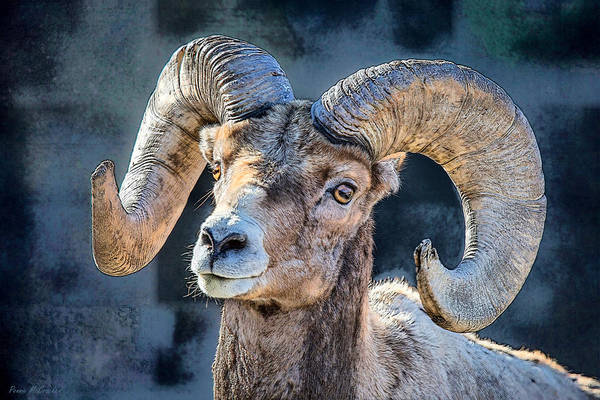 Digital Art - Bighorn Sheep by Pennie McCracken