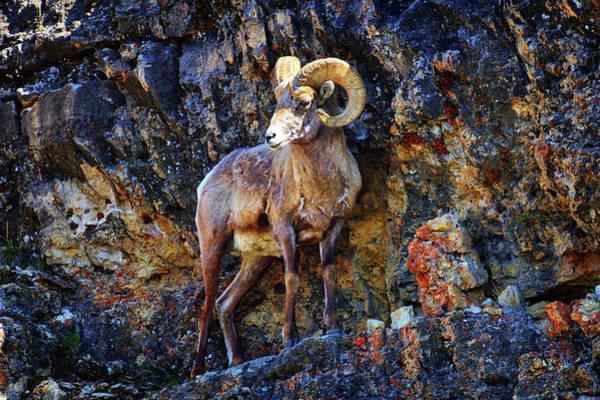 Wall Art - Photograph - Bighorn Sheep Precarious Perch by Greg Norrell