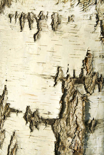 Wall Art - Photograph - Birch Bark by Aigul Minnibaeva
