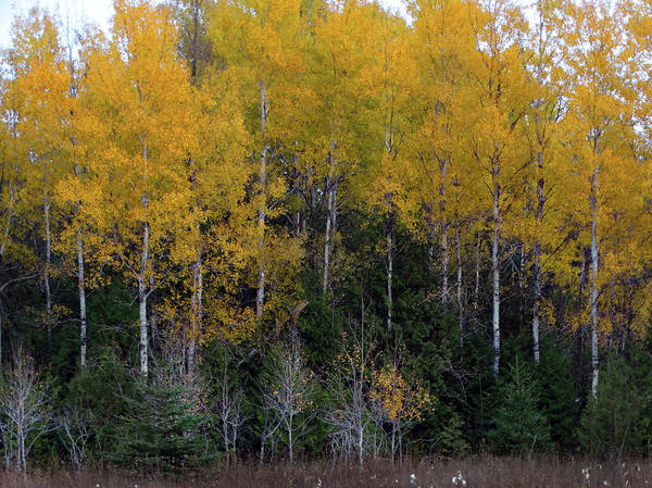 Photograph - Birch Delight by David T Wilkinson