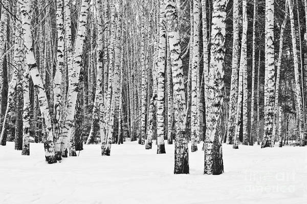 Beauty Of Nature Wall Art - Photograph - Birch Forest In Winter In Black And by Furtseff